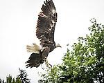Bald eagle Sukai flys durring the Wild Life Live show at The Oregon Zoo. © Oregon Zoo / Photo by Carli Davidson
