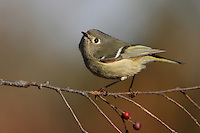 One of North America's smallest birds, the Ruby-crowned Kinglet can be recognized by its constant wing-flicking. The male shows its red crown only infrequently.