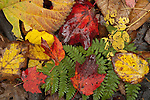 Fall colors on the forest floor of Pinkham Notch, New Hampshire, in the White Mountain National Forest