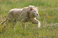 White Lion (Panthera leo krugensis) male walking in grass