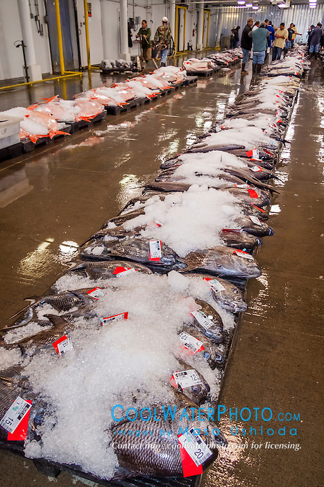 Monchong or sickle pomfret at honolulu fish auction masa for United fishing agency