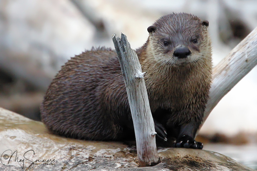 This pensive baby river otter (Lontra canadensis) is patiently waiting for mom to bring a meal. Too young to hunt on his own, but too old to nurse. Madison River, Yellowstone.