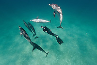 RW4679-D. Atlantic Spotted Dolphins (Stenella frontalis), resident pods of wild dolphins in the Bahamas off Bimini and Grand Bahama Island offer eco-tourists from around the world a superb encounter swimming with the playful marine mammals. Bahamas, Atlantic Ocean.<br /> Photo Copyright &copy; Brandon Cole. All rights reserved worldwide.  www.brandoncole.com