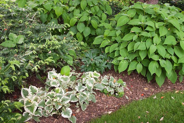 Shade garden plants Hellebore, Brunnera Dawson's White, Cephalotaxus plum yew