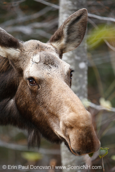 Moose on the side of the Kancamagus Highway (route 112) in the White Mountains, New Hampshire USA during the spring months