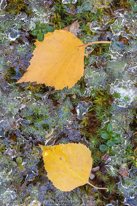 Two yellow birch leaves on the forest floor in Fairbanks, Alaska.