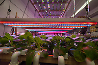 The hydroponic farm of CAMBA food pantry and farm in Brooklyn in New York on Monday, July 7, 2014. The non-profit social service agency, founded in 1977 has run a food pantry since 1998 providing for 5000 people each month and now supplemented with fresh produce grown on their farm. CAMBA is participating in the Summer Youth Employment Program (SYEP) which provides paid summer jobs for teens for up to six weeks during the summer. (© Richard B. Levine)