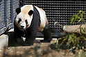 April 1, 2011, Tokyo, Japan - A male giant panda &quot;Ri Ri&quot; is seen at Ueno Zoo in Tokyo on Friday, April 1, 2011, on the first day its appearance with a fellow female panda &quot;Shin Shin&quot;, not seen, to the public. Thousands of visitors flocked to catch a first glimpse of a pair of pandas on loan from China, in a welcome respite from the gloom over last month's massive earthquake and tsunami in northern Japan. (Photo by Daiju Kitamura/AFLO) [1045] -ty-