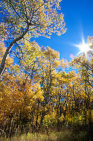 &quot;Aspens at Monitor Pass&quot;- These aspens are in a large aspen grove located along Monitor Pass. Monitor Pass connects Hwy. 89 with Hwy. 395 near Markleeville and Topaz Lake.<br />