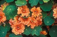 Tropaeoleum 'Margaret Long', double petalled orange nasturtiums