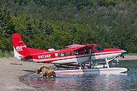 Brown bears swim in Naknek lake by a bush plane on floats, Katmai National Park, southwest, Alaska.