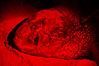 Head of Female Leatherback Sea Turtle (Dermochelys coriacea) laying eggs, viewed with red flashlight. Bluff Beach, Bocas del Toro, Panama