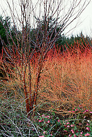 Cornus sanguinea 'Winter Beauty', Prunus maackii red tree bark, both showing winter garden color, with hellebores in bloom. Angelsey Abbey, UK