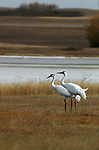 Two whooping cranes stand in a field in Saskatchewan, Canada.