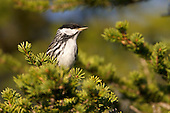 Blackpoll Warbler, Churchill, Manitoba Canada.