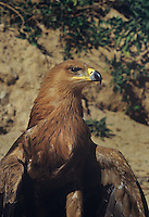 521259407 a portrait of a striking tawny eagle aquila rapax an african raptor that is a captive injured wildlife rescue subject