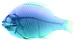 X-ray image of a scup fish (blue on white) by Jim Wehtje, specialist in x-ray art and design images.