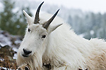 close up of a curious head tilted white billy goat on a rock with snowy background
