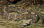 West African Gaboon Viper, Snake, Bitis gabonica rhinoceros, venemous, jungle, poisonous, brown pattern, camouflaged, whole snake, poisonous, .Africa....