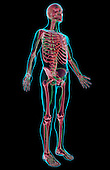 An anterolateral view (right side) of the lymphatic system. The surface anatomy of the body is semi-transparent and tinted blue. Royalty Free