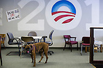 A dog belonging to a volunteer with Organizing for America, President Obama's re-election campaign arm, wanders in the group's Richmond headquarters on Thursday, May 3, 2012 in Richmond, VA.