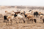 Domestic sheep and cattle feeding in Amboseli, Amboseli National Park, Kenya