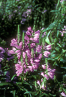 Physotegia virginiana 'Vivid', pink flowering obedient plant in autumn bloom