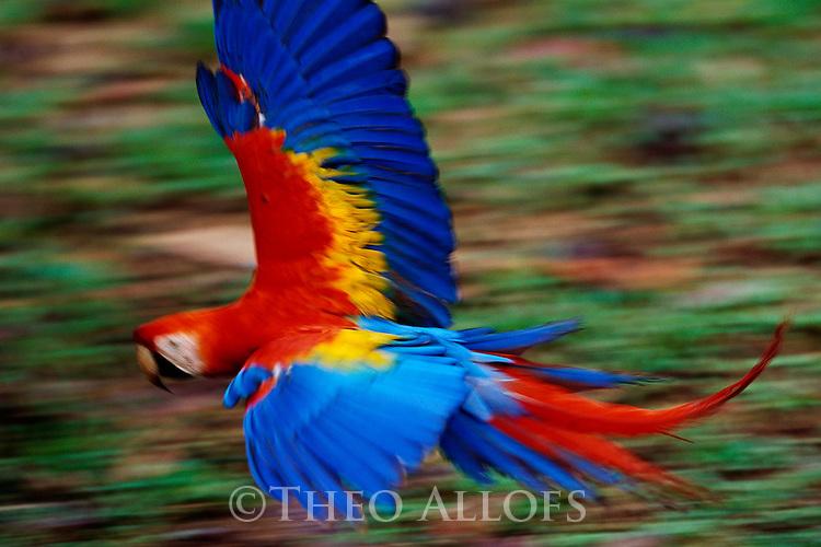 Scarlet Macaw in Flight; Tambopata River, Peru