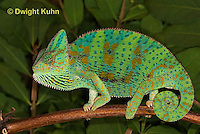 CH39-516z  Female Veiled Chameleon in display colors, Chamaeleo calyptratus
