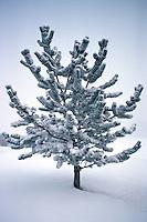 Bristlecone Pine sapling (Pinus aristata) with ice and snow, St. Albert, Alberta.