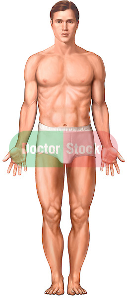This medical illustration depicts a male figure in anatomical position.