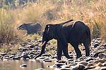 Male Asian Elephant, Elephas maximus, Crossing river, silhouette, Corbett National Park, Uttarakhand, Northern India, .India....