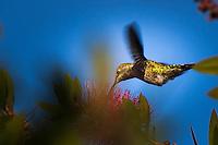 A hummingbird in flight, pausing at a Bottlebrush flower in the yard.