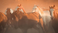 Horses running wild through the dust - Wyoming