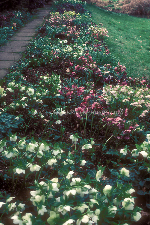 Mixture of large plants of Helleborus x hybridus in masses collection, in bloom with variety of flower colors, white, red, pink cream. GR20979