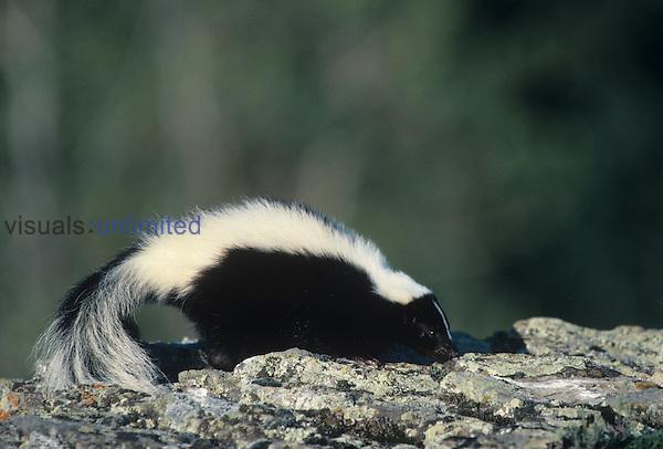 Striped Skunk (Mephitis mephitis), North America.