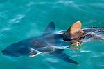 Grey reef shark (Carcharhinus amblyrhynchos) Oceanarium, San Martin de Pajarales island, Rosario islands, Cartagena de Indias, Colombia, South America.