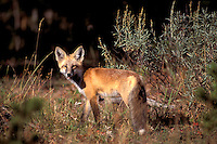 Red Fox, (Vulpes vulpes) Yellowstone National Park, Wyoming, USA