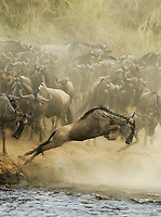 Wildebeest cross the Mara River in Kenya's Maasai Mara National Reserve. The Serengeti-Mara eco system is the last refuge for the world's greatest concentration of wildlife, and the annual migration remains the greatest show on earth.
