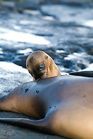 A sea lion pup nurses on the island of Santiago in the Galápagos Islands. Each cow in a sea lion harem has a single pup born a year after conception. A cow will nurture a pup for up to three years. In that time the cow and the pup will recognize each other's bark from the rest of the colony and develop a strong bond. .