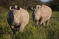 Two adolescent White Rhinos approaching