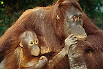 Bornean Orangutan mom and infant, Tanjing Puting National Park, Borneo, Indonesia
