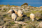 Sheep on Pag  island,  Croatia