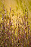 Little Bluestem, Schizachyrium scoparium 'The Blues', ornamental grass flowering in autumn garden