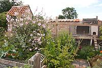 Chicken coop in backyard with free range roosters in garden and pathway, Alcea hollyhocks