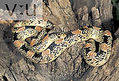 Long-nosed Snake (Rhinocheilus lecontei), Southwestern North America.