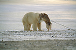 A polar bear and Arctic Eskimo dog play together in Hudson Bay, Manitoba, Canada.