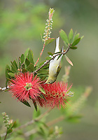 Tennessee Warbler (Vermivora peregrina), adult feeding on blooming Lemon bottlebrush, crimson bottlebrush (Melaleuca citrina), South Padre Island, Texas, USA