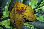 Moth, sp. unknown, Sabah Borneo, yellow, double wings.Borneo....