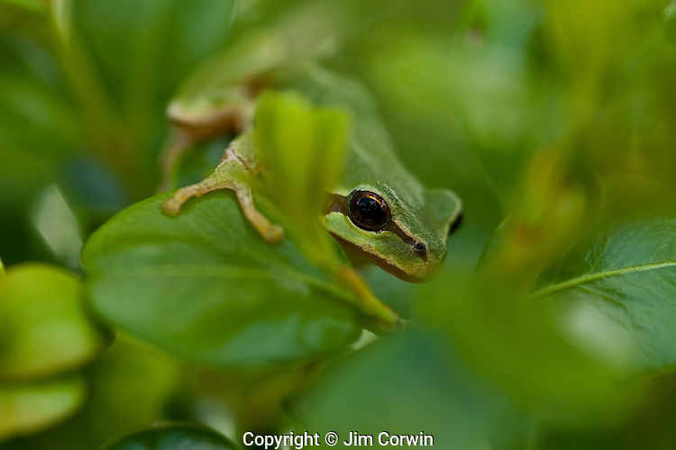 Tree Frogs and Bull frogs
